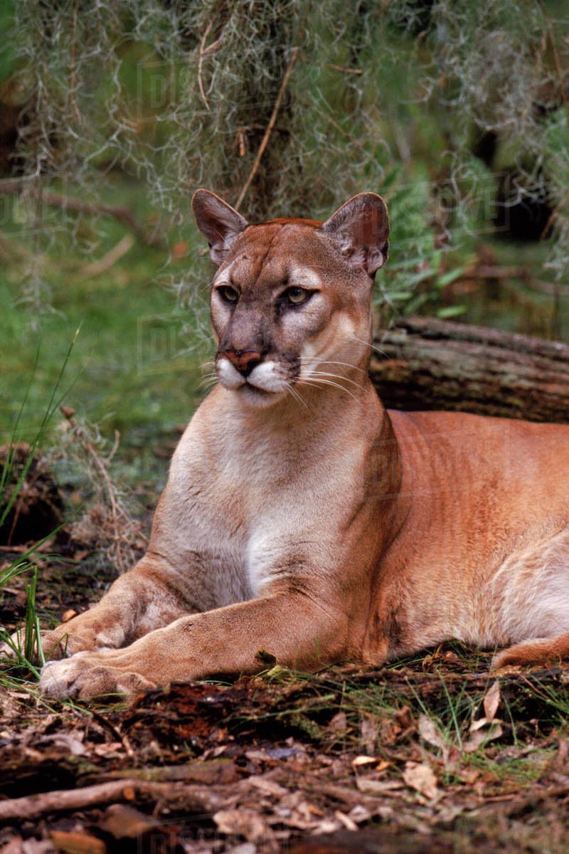 6bd67ee6f0d Puma / Florida panther (Puma concolor couguar), portrait. Florida, USA.