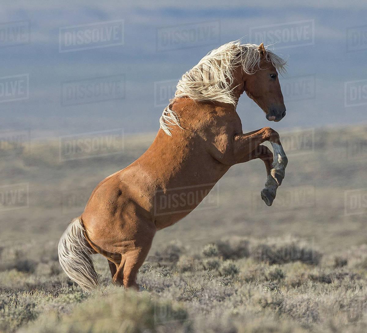 Rf Wild Mustang Palomino Stallion Rearing White Mountain Wyoming Usa August Stock Photo Dissolve