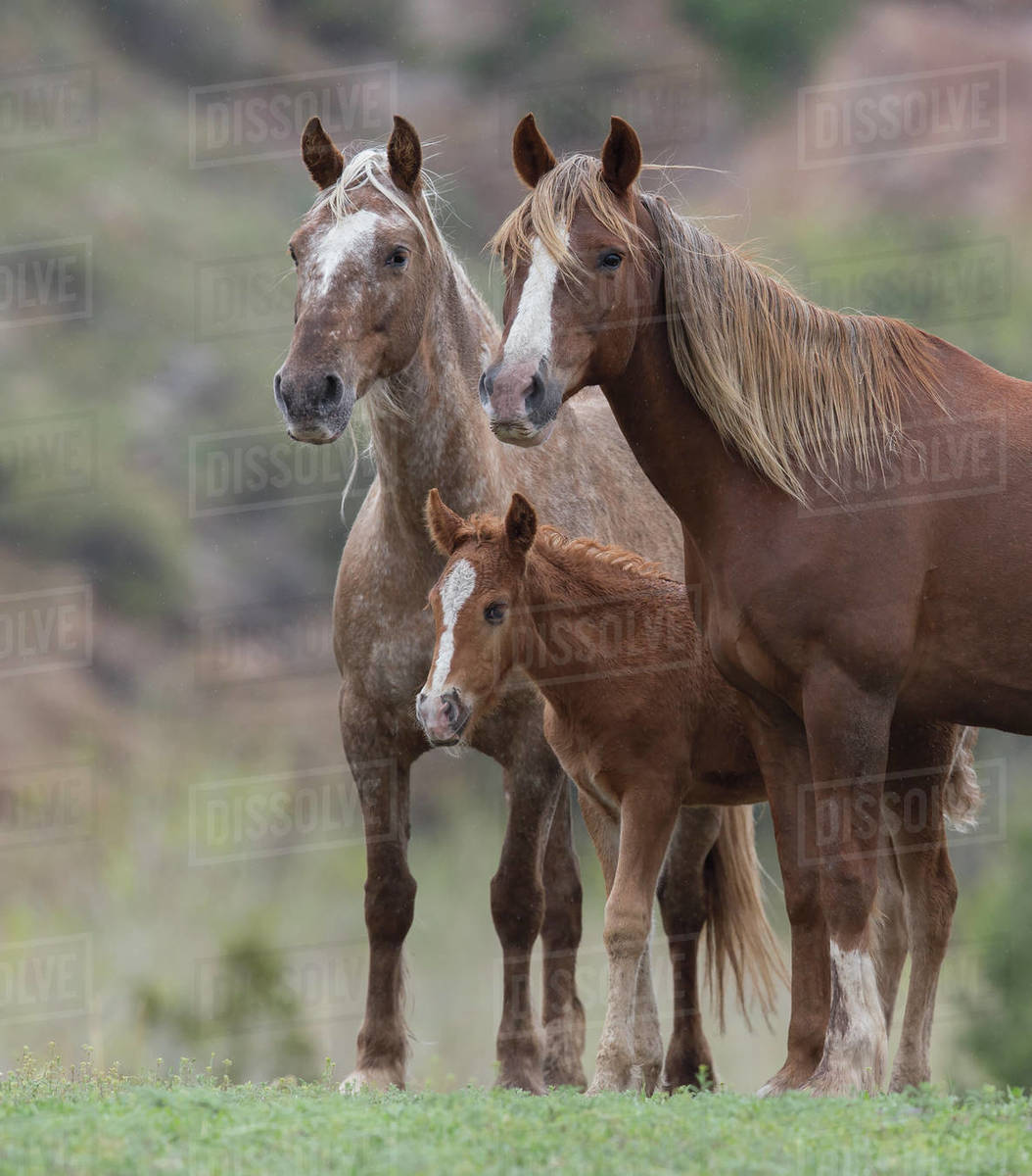 Rf Wild Mustang Mare With Sister And Foal At Black Hills Wild Horse Sanctuary South Dakota Usa May Stock Photo Dissolve