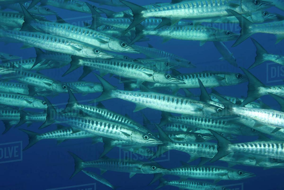 Schooling Chevron barracuda (Sphyraena putnamae / qenie) Indo-pacific   stock photo