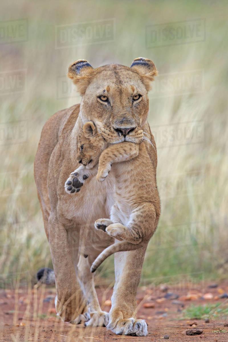 African Lion (Panthera leo) female carrying young cub , Masai Mara, Kenya,  Africa  August  stock photo