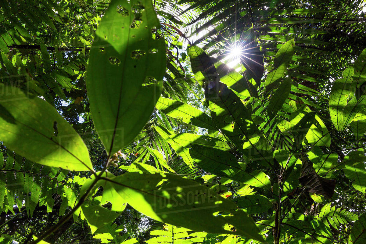 View up into canopy with sun rays shining through the leaves lowland rainforest Panguana Reserve Huanuco province Amazon basin Peru. & View up into canopy with sun rays shining through the leaves ...