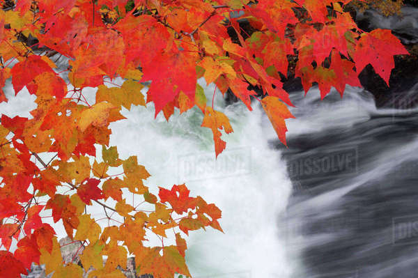 Maple Tree with Autumn Leaves by Waterfall, Algonquin Provincial Park, Ontario, Canada Royalty-free stock photo