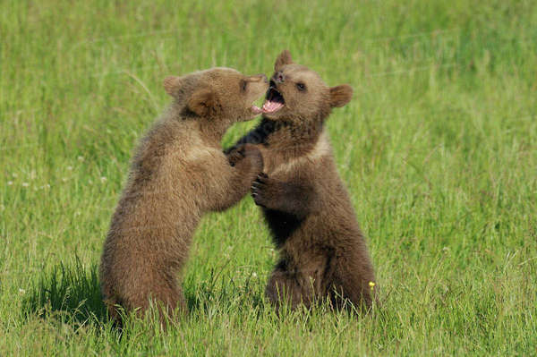 Two Brown Bear Cubs Playing in Meadow Royalty-free stock photo