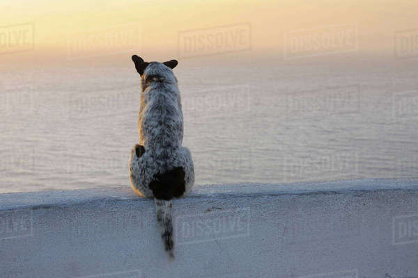 Dog, Oia, Santorini Island, Cyclades Islands, Greek Islands, Greece Royalty-free stock photo