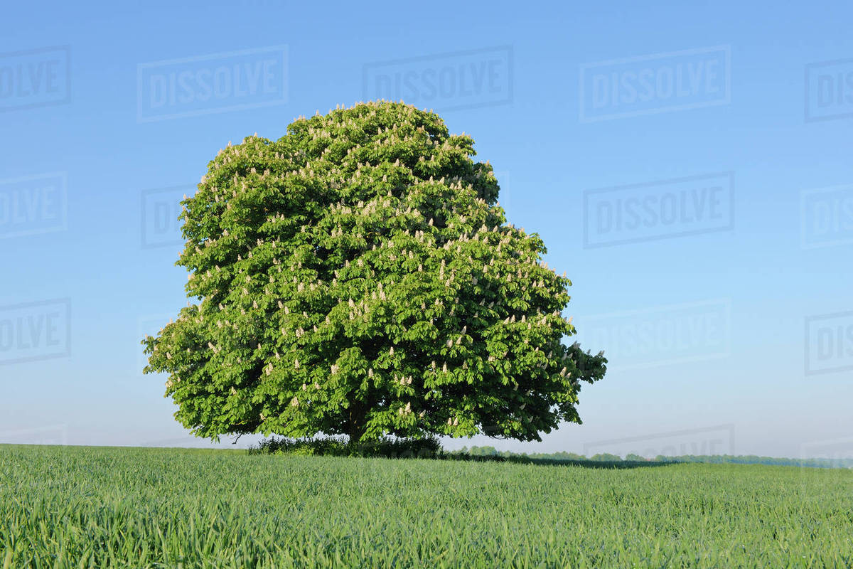 Horse Chestnut Tree Aesculus Hippocastanum In Bloom In Spring Bavaria Germany Stock Photo Dissolve