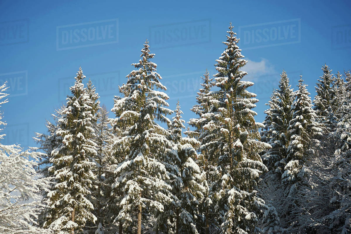 Snow Covered Norway Spruce Picea Abies Trees In Forest In Winter Bavarian Forest Bavaria Germany Stock Photo