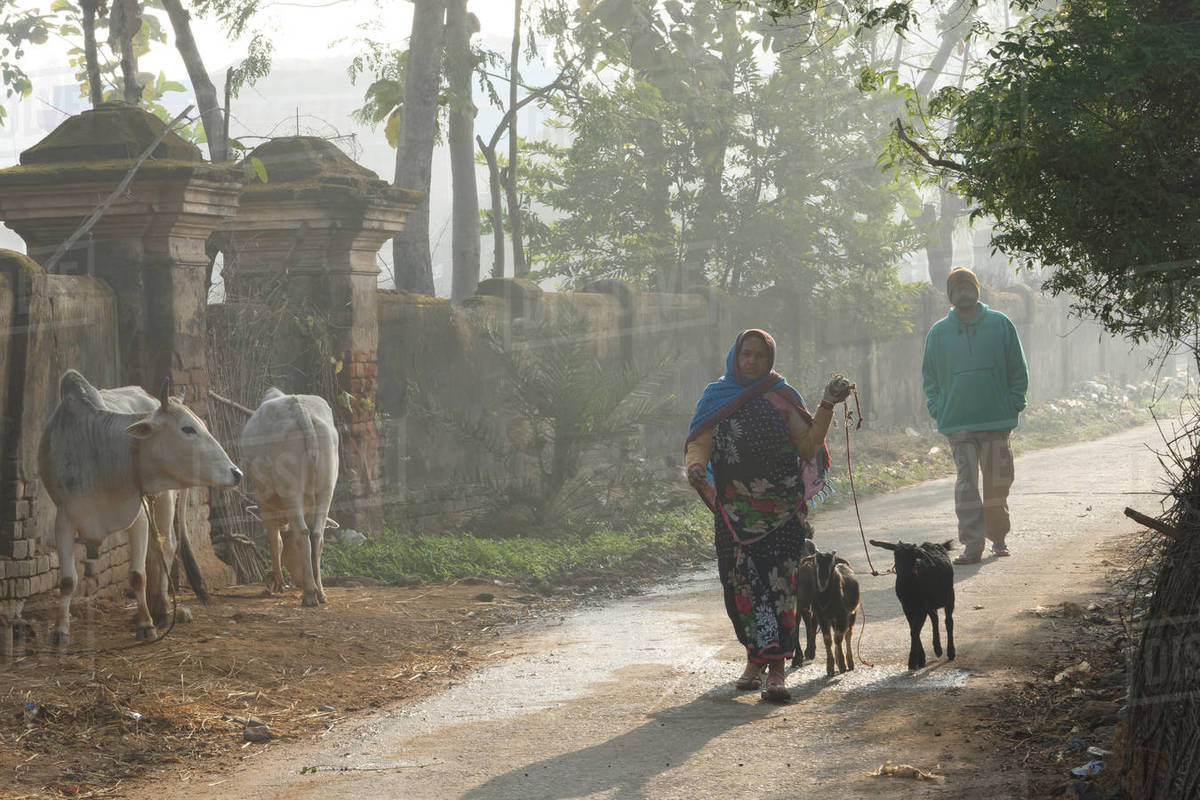 Indian Shepherd lady is walking with goats in foggy winter morning Royalty-free stock photo