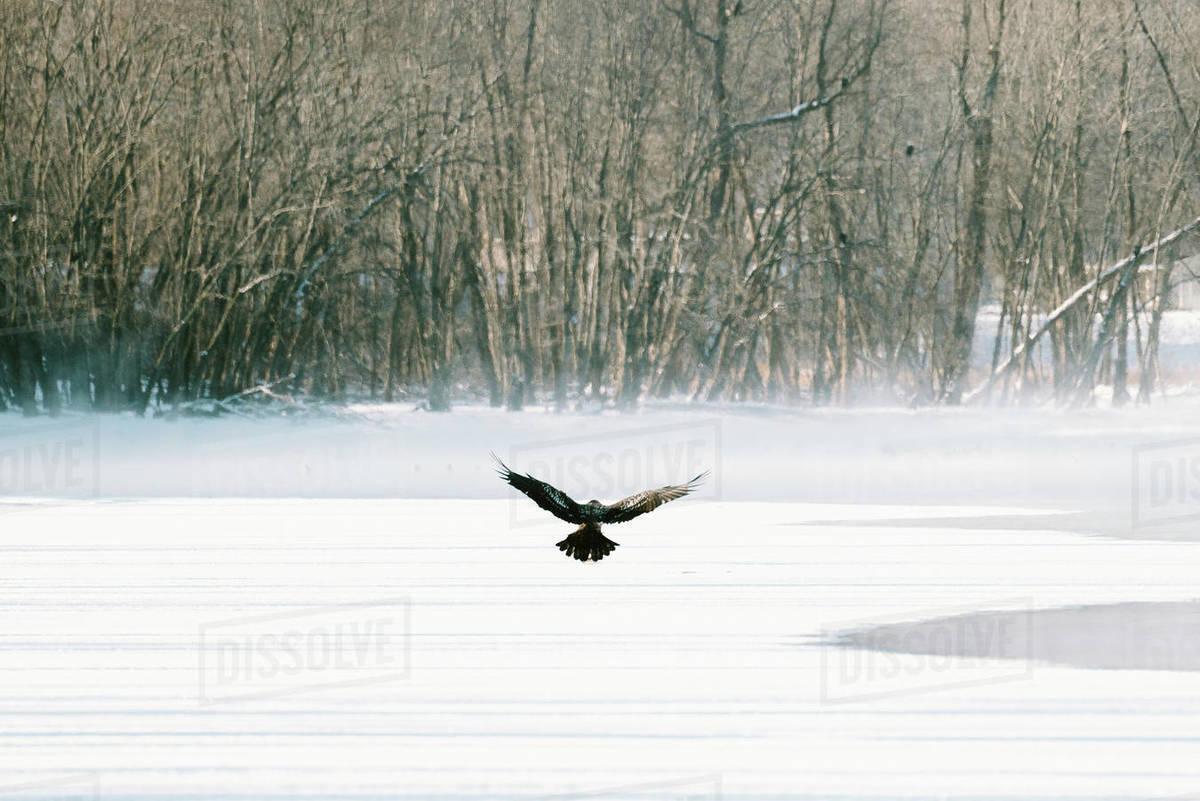 A bald eagle lands on the ice Royalty-free stock photo