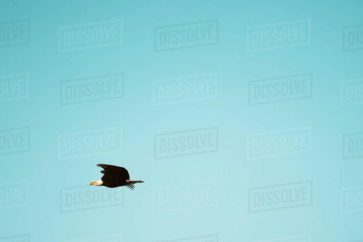 A bald eagle flies across a blue sky Royalty-free stock photo
