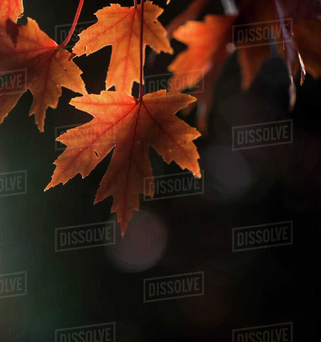 Autumn orange leaves backlit against dark background Royalty-free stock photo
