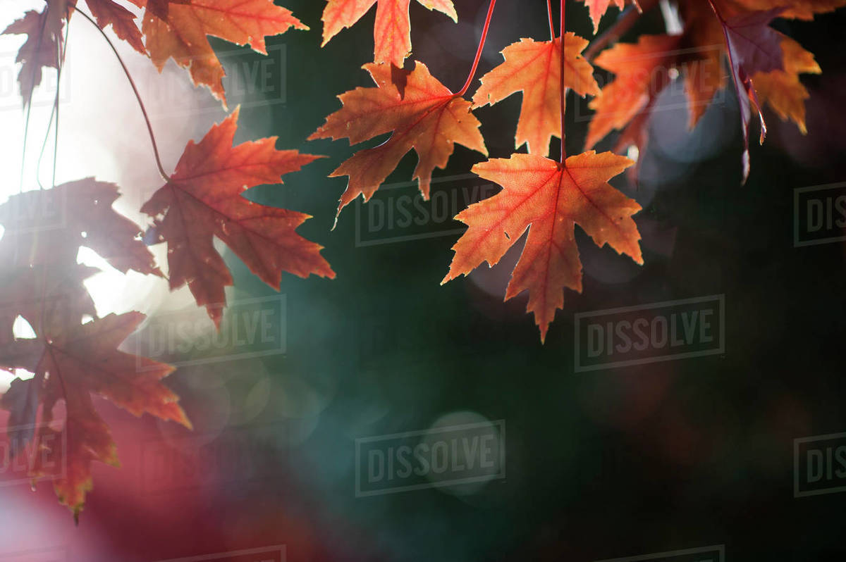 Colorful fall leaves hang down against dark background Royalty-free stock photo