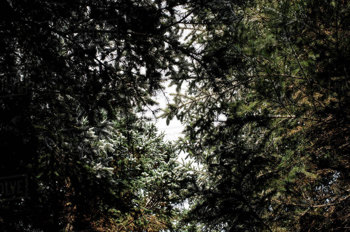 Tops of trees covered in snow in the forest Royalty-free stock photo