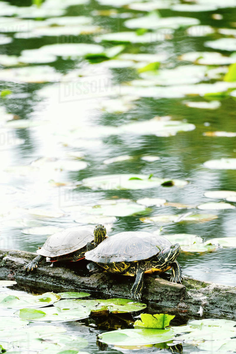 Closeup of two turtles sitting together on a log in a pond Royalty-free stock photo