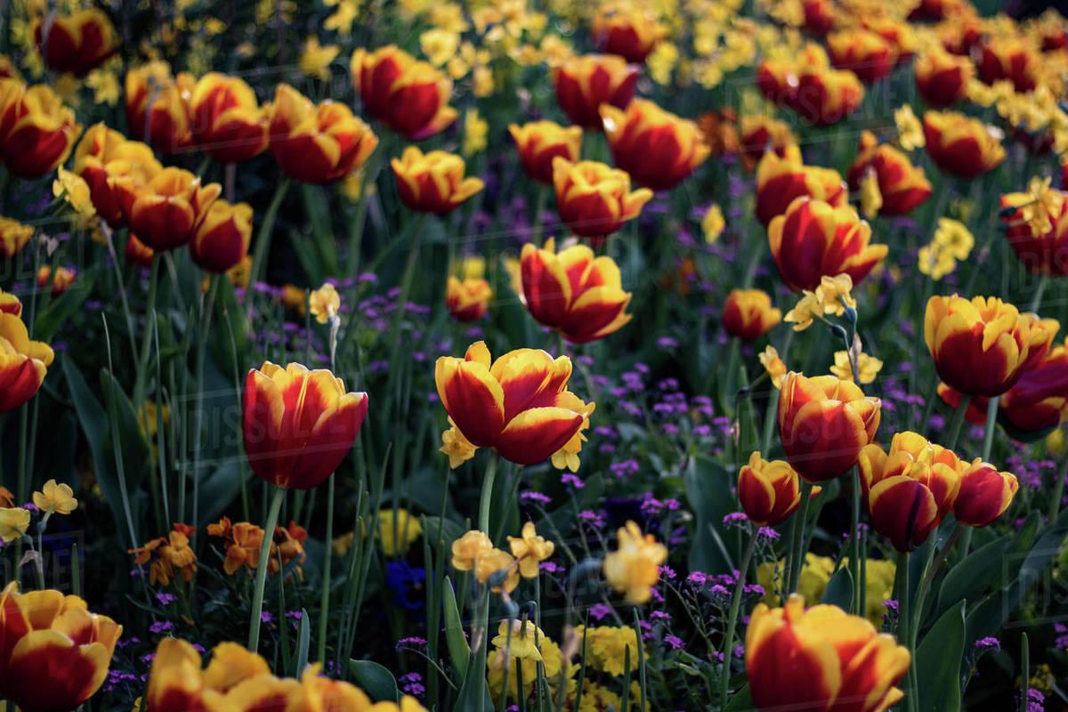 Beautiful field of tulips Royalty-free stock photo