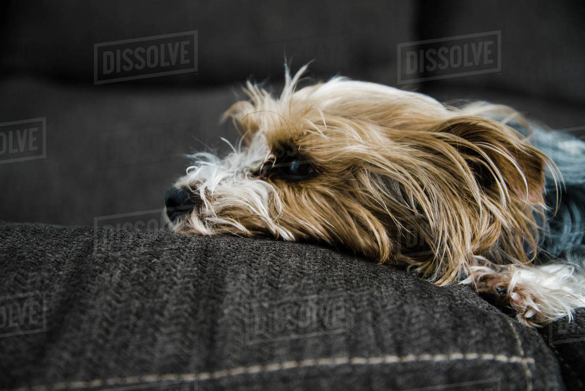 Yorkshire Terrier resting on the couch with hair that sticks up. Royalty-free stock photo