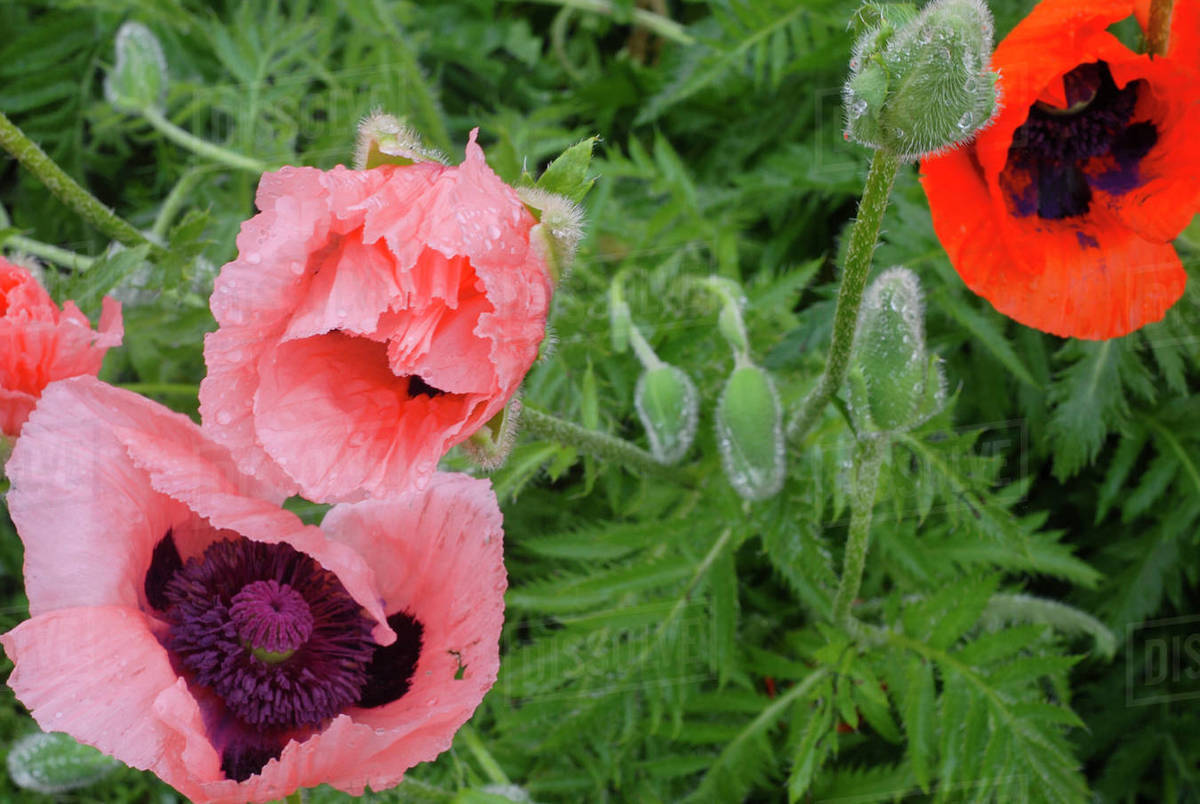 Huge Pink Poppies Drooping After Rainstorm Royalty-free stock photo