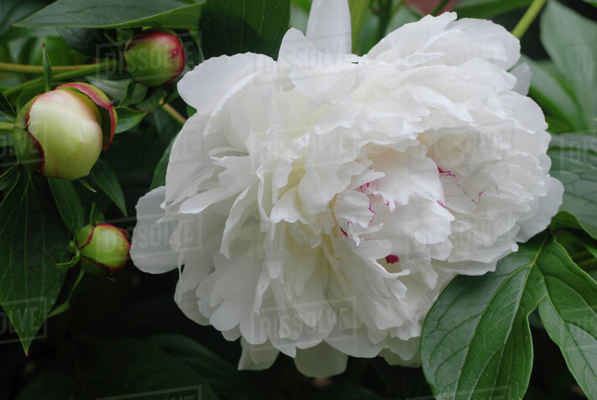 Breathtakingly Beautiful White Peony in Full Bloom with Pink Edges Royalty-free stock photo