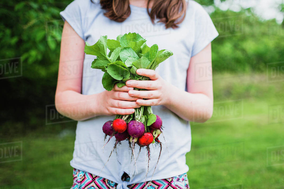 A Bunch of Garden Fresh Radishes Held in Girls Hands Royalty-free stock photo