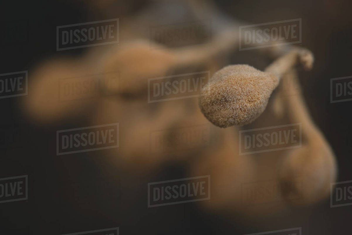 Fuzzy Seedpod Royalty-free stock photo