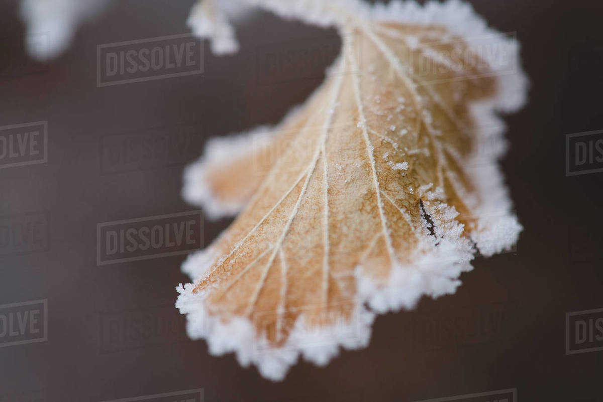 Frost Leaf Royalty-free stock photo