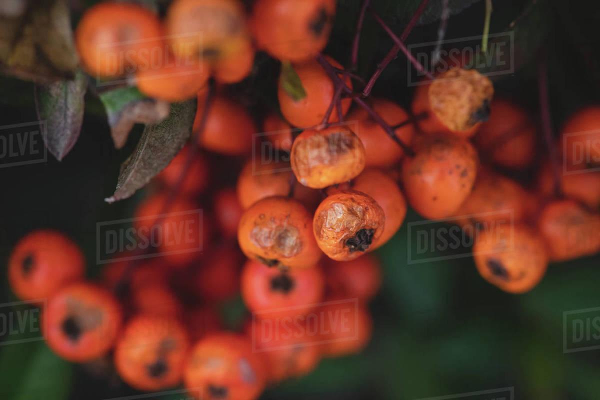 Orange Berries Royalty-free stock photo