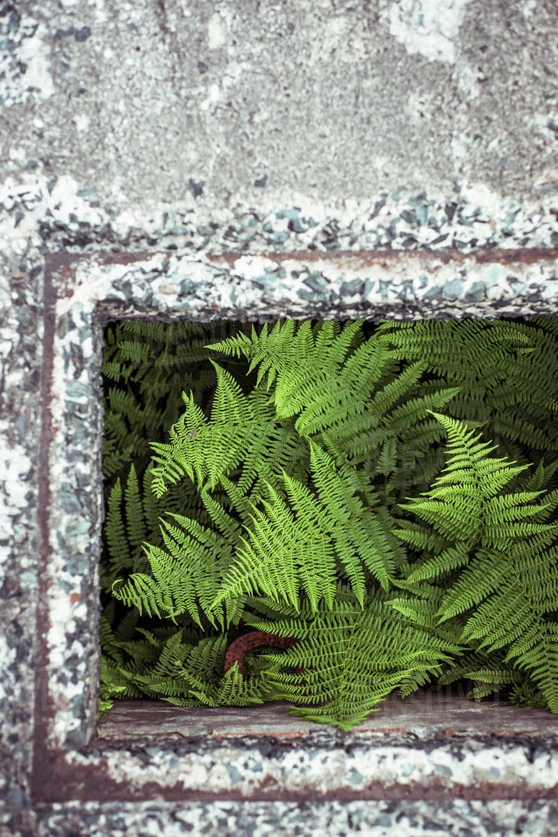 Green fern grows out of concrete hole Royalty-free stock photo