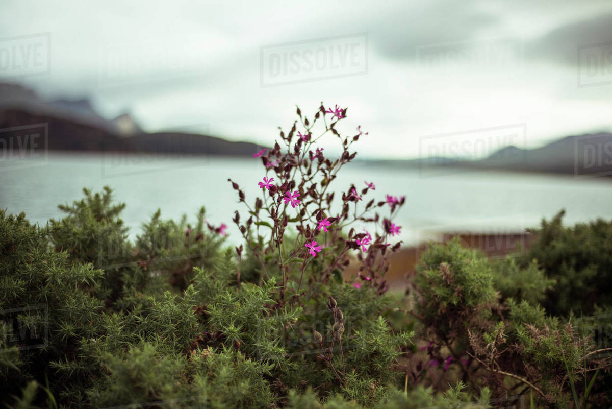 Scottish wild flowers by mountain lakes Royalty-free stock photo