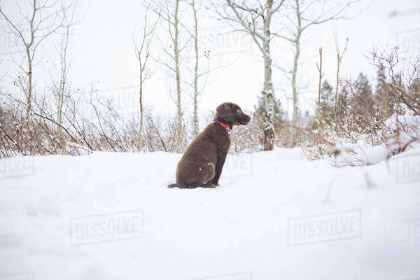 Chocolate Labrador sitting on snow covered field Royalty-free stock photo