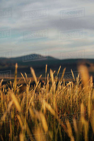 Close-up of grass growing on field at Davis Mountains State Park Royalty-free stock photo