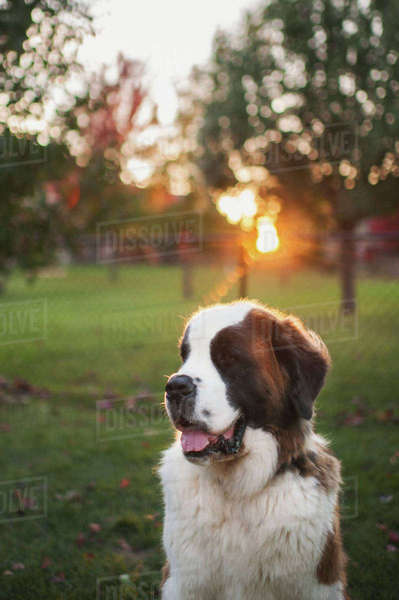 Close-up of Saint Bernard on grassy field at park Royalty-free stock photo