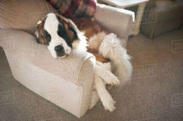 High angle view of Saint Bernard sleeping on chair at home Royalty-free stock photo