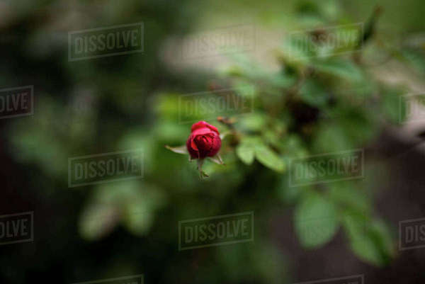 Overhead view of red rose bud in park Royalty-free stock photo