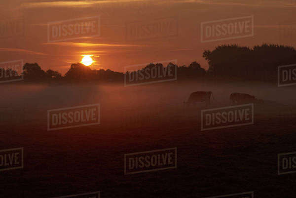Cows grazing on field against sky during sunrise Royalty-free stock photo