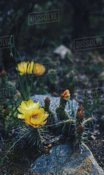 High angle view of yellow cactus flower growing by rocks Royalty-free stock photo