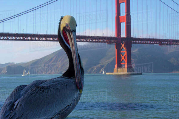 Peruvian pelican standing against Golden Gate bridge Royalty-free stock photo