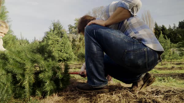 Full shot of family cutting down a pine tree at a tree farm Royalty-free stock video