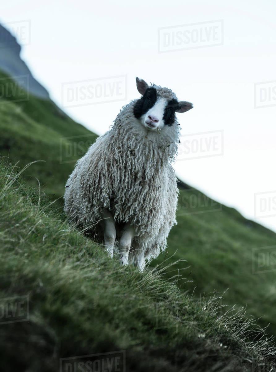 Portrait of sheep standing on grassy mountain, Faroe Islands, denmark Royalty-free stock photo