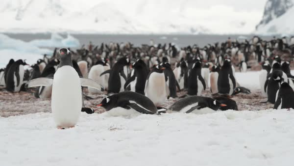 Hand-held shot of Gentoo penguins Royalty-free stock video
