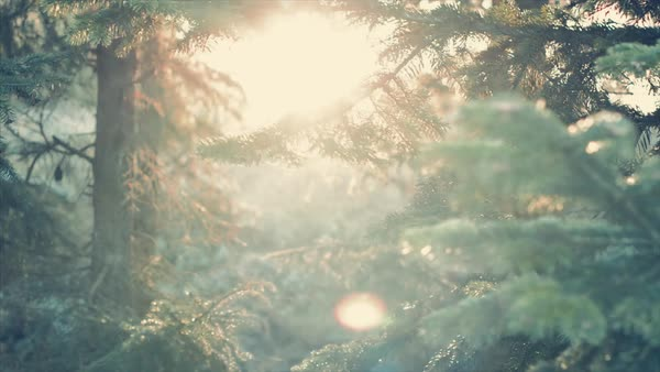 Sunset through pine tree forest Royalty-free stock video