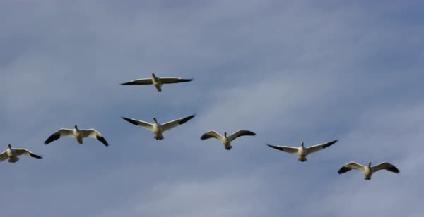 Tracking shot of snow geese flying Royalty-free stock video