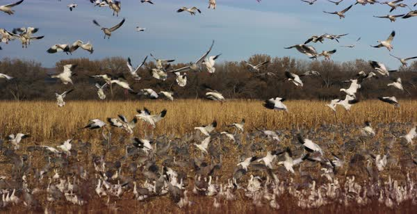 Hand-held shot of a flock of snow geese landing among sandhill cranes Royalty-free stock video