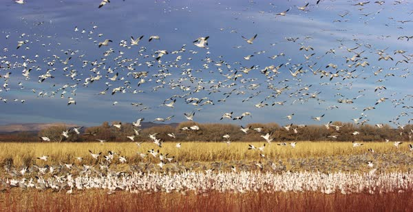 Slow motion of a flock of snow geese landing and flying during migration Royalty-free stock video