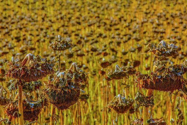 Sunflowers wilting in rural field Royalty-free stock photo