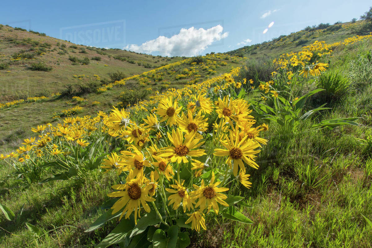 Yellow Flowers In Rolling Landscape Stock Photo Dissolve