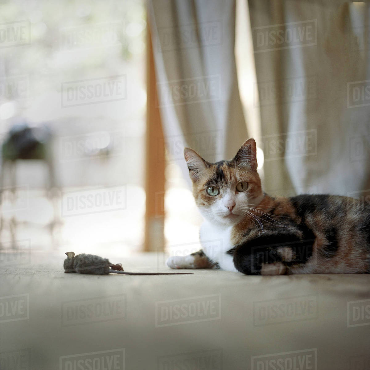 Cat On Floor With Dead Mouse Stock