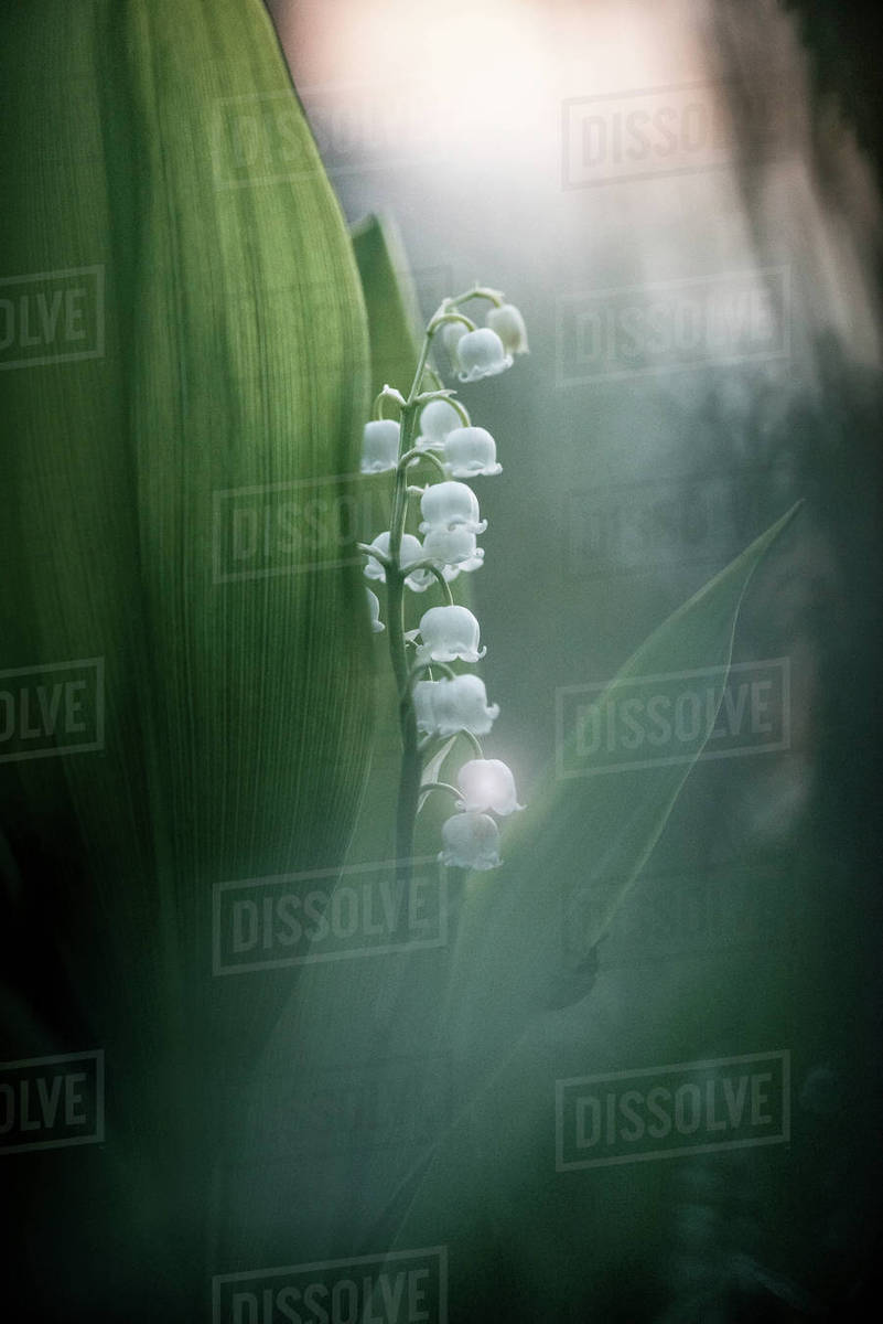 Close Up Of White Bell Shaped Flowers Stock Photo Dissolve