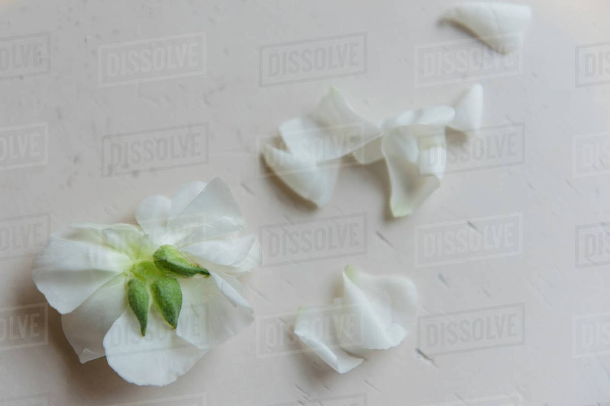 White flower petals on table stock photo dissolve white flower petals on table mightylinksfo