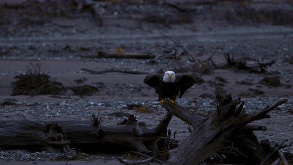 Slow motion shot of bald eagle taking off from driftwood Rights-managed stock video