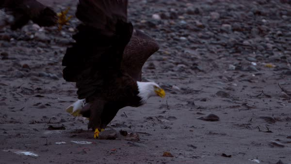 Slow motion shot of two bald eagles fighting on ground Rights-managed stock video